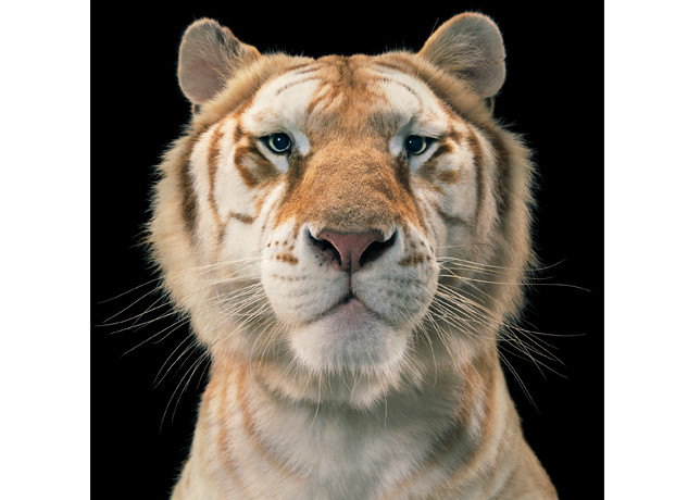 Metro is thrilled to have recently worked with award-winning and celebrated London born photographer Tim Flach, producing over a dozen Perspex mounted prints and Duratrans  for his forthcoming exhibition 'More Than Human', which opens at Osborne Samuel Gallery this week. Tim Flach is renowned for his innovative approach to animal photography, decades of experience gained […]